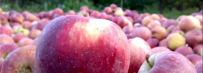 Apple Output Expected to Exceed 4 Million Tons
