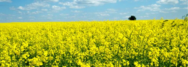 Oilseed Cultivation Expanded to Achieve 70% Self-Sufficiency