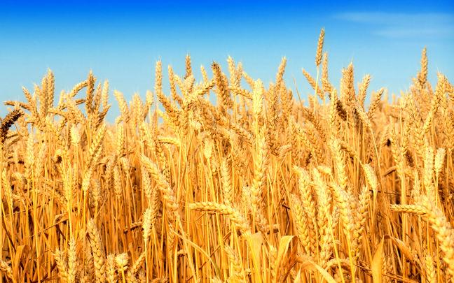 Rouhani Turns Iran Into Wheat Exporter
