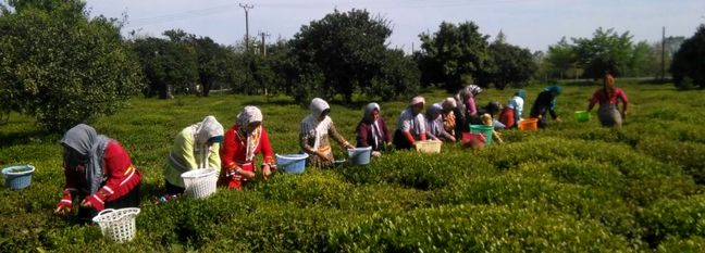 Iran's Q1 Tea Exports Top 1,600 Tons