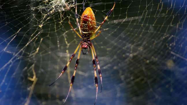 Spiders can 'tune' webs for good vibrations, researchers say