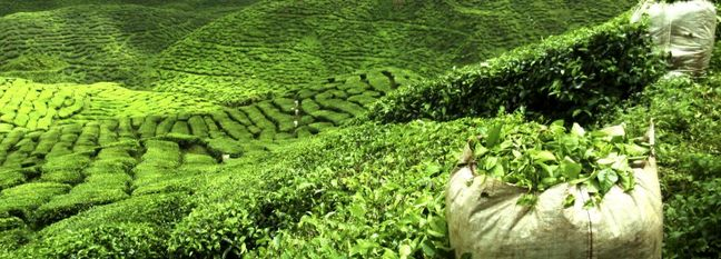 Tea Exported to 12 Countries
