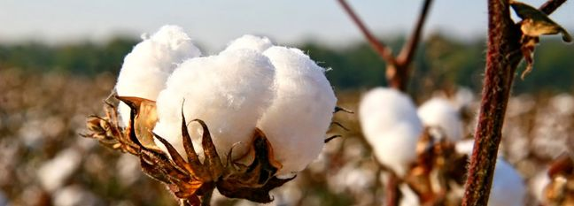 Iran to Increase Land Under Cotton Cultivation