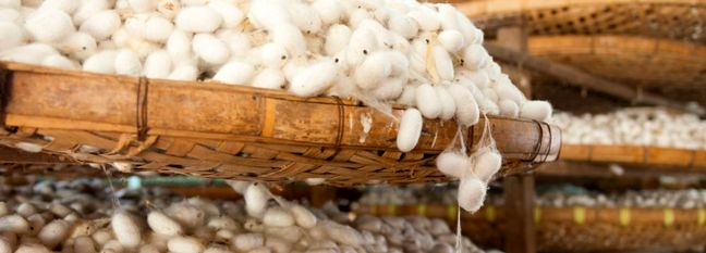 Raw Silk Cocoon Production Expected to Rise by 20%