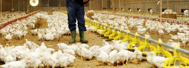 Chicken Exports Banned to Avert Domestic Shortage