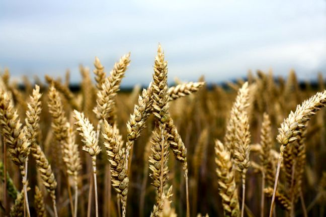Government Buying Wheat to Build Up Strategic Reserve