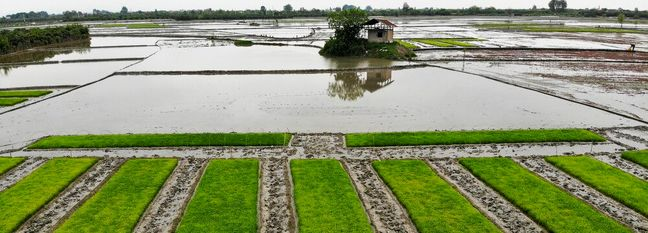 Restrictions on Rice Cultivation Lifted Amid High Rainfall