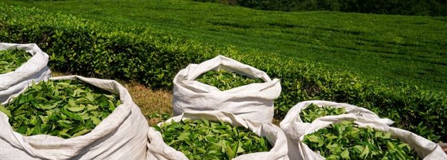 Growth in Tea Production